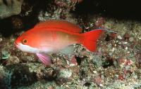 آنتیاس قرمز (Red Anthias Male)