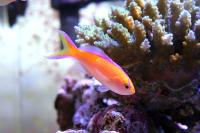 آنتیاس پارویروستریس (Parvirostris Anthias)