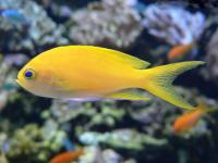 آنتیاس خال مربع (Squarespot Anthias Female)