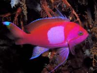 آنتیاس خال مربع (Squarespot Anthias Male)
