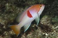 آنتیاس رابریزوناتوس (Rubrizonatus Anthias)