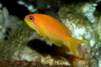 آنتیاس دُم چنگی (Lyretail Anthias Female)