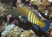 گروپر طاووسی (Peacock Grouper)