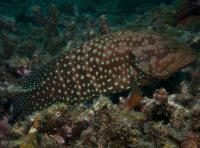 گروپر مرجانی قلابی (False Coral Grouper)
