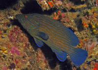 گروپر خط آبی (Bluelined Grouper)