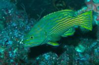 گروپر گوزن دلقک (Harlequin Hind Grouper)