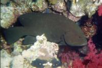 گروپر گُلگون (Redflush Grouper)