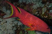گروپر دُم چنگی  (Lyretail Grouper)