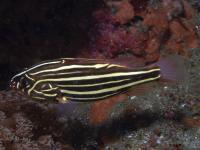 صابون ماهی 6 خط (Sixstripe Soapfish)