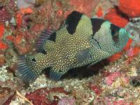 صابون ماهی دلقک (Clown Soapfish)