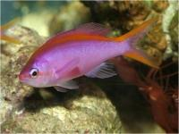 آنتیاس دُم زرد - نر (Yellowtail Anthias Male)