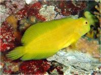 بلنی باله بلند زرد (Yellow Highfin Blenny )