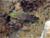 گوبی رِین فورد (RainfordS Goby)