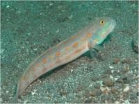 گوبی دوشیزه - گوبی خال نارنجی(Maiden Goby - Orange-spotted Goby)