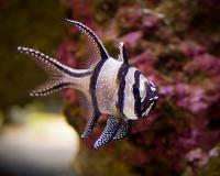 کاردینال بَنگای (Banggai Cardinalfish)
