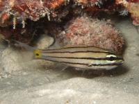 کاردینال تیز دندان (Sharptooth cardinalfish)