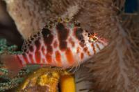 هاک ماهی باله قیطانی (Treadfin Hawkfish)