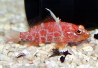 پِرچ لِت خال قرمز (Red-blotched Perchlet)