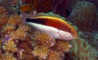 هاک ماهی کَک مکی (Freckled Hawkfish)