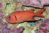 سرباز ماهی آجری (Brick Soldierfish)