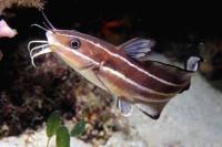 گربه ماهی نواری (Stripe Catfish)