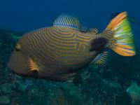 ماشه ماهی خط نارنجی (Orange-stripped Triggerfish)