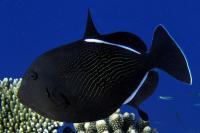 ماشه ماهی هندی (Indian Triggerfish)