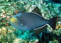 ماشه ماهی سیاه (Black Triggerfish)