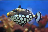 ماشه ماهی دلقک (Clown Triggerfish)