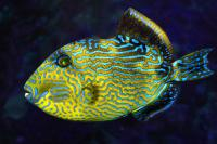 ماشه ماهی طلایی و آبی -بالغ (Blue And Gold Triggerfish Adult)