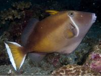 ماشه ماهی هلالی (Halfmoon Triggerfish)