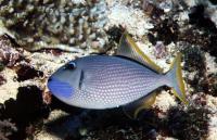ماشه ماهی گلو آبی (Blue Throat)