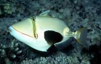ماشه ماهی پیکاسو شکم سیاه (Blackbelly Picasso Triggerfish)