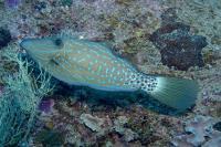 فایل ماهی خط خطی (Scribbled Filefish)