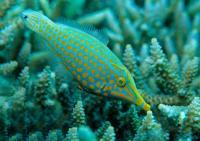 فایل ماهی دماغ دراز (Longnose Filefish)