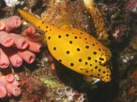 صندوق ماهی زرد (Yellow Boxfish)