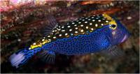 صندوق ماهی خال خال-نر (Spotted Boxfish Male)