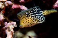 صندوق ماهی زنبوری-ماده (Reticulate Boxfish Female)
