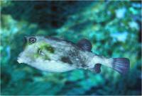 گاو ماهی خاردار (Spiny cowfish)
