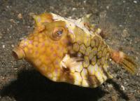 گاو ماهی پشت تیغ دار (Thornback Cowfish)